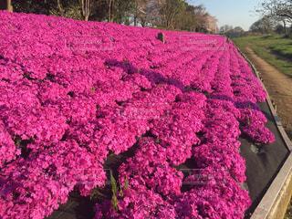 芝桜の絨毯の写真・画像素材[1021939]