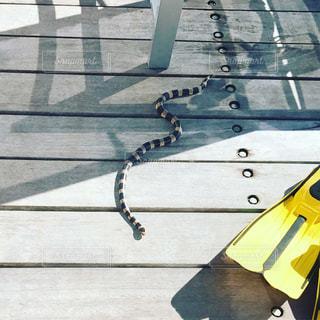 ウミヘビの写真・画像素材[1022110]