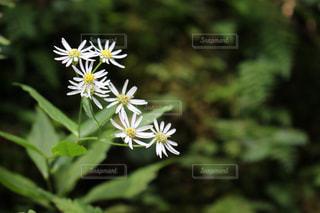 小さな白い花の写真・画像素材[1022080]