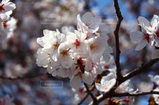 ソメイヨシノの写真・画像素材[1022460]