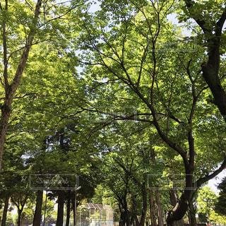 公園の木の写真・画像素材[1231103]