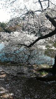 水に浸かる桜の写真・画像素材[1102306]