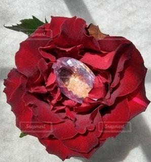 薔薇の中の宝石の写真・画像素材[2301454]