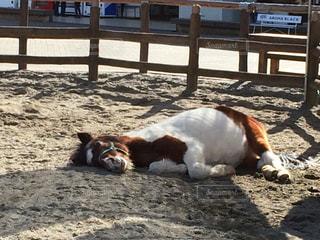 小屋の中で疲れて寝転んだ馬の写真・画像素材[1059285]