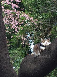 桜の木でまったりな猫の写真・画像素材[1059299]
