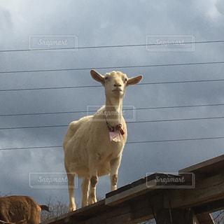 まるで空中散歩!?一本橋を渡るヤギの写真・画像素材[1086042]