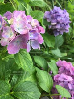 長谷寺の紫陽花の写真・画像素材[1023353]