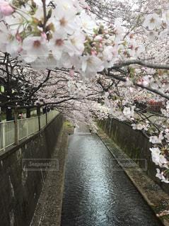 桜の写真・画像素材[1023368]