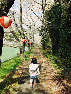 桜道の写真・画像素材[1098107]