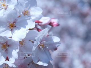 桜の群れ - No.1022970