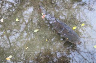 佇む鯉 - No.1023017