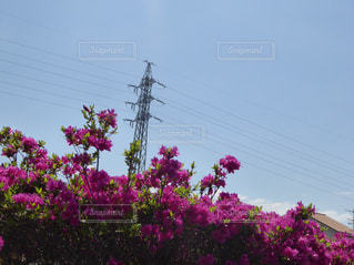 紫花の写真・画像素材[1023073]