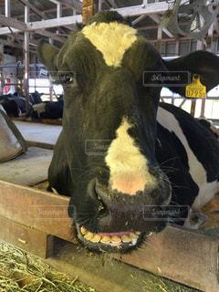 フェンスの横に黒牛立っての写真・画像素材[1028222]