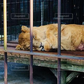 ライオンの昼寝の写真・画像素材[1028429]