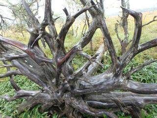 大きな木(戦場ヶ原)の写真・画像素材[1023529]