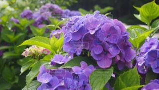 紫陽花の写真・画像素材[1023555]