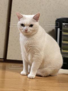お座り白猫の写真・画像素材[1031039]
