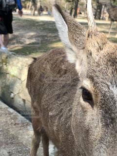 奈良の鹿の写真・画像素材[1053229]