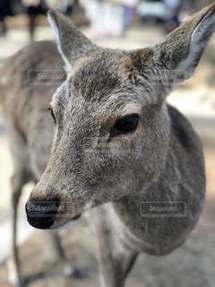 奈良の鹿の写真・画像素材[1053232]