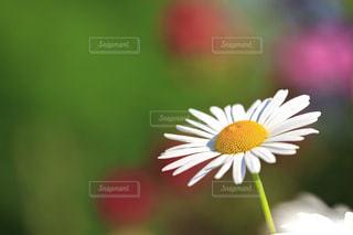 白い花の写真・画像素材[1163920]