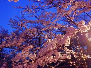 夜桜の写真・画像素材[1028213]