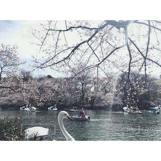 桜とスワンボートと恋人達の写真・画像素材[1024914]