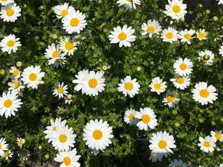 白と黄色の花で一杯の花瓶の写真・画像素材[1025158]