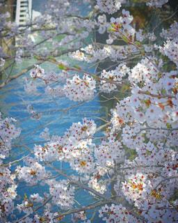 滋賀県三井寺桜の写真・画像素材[1143520]