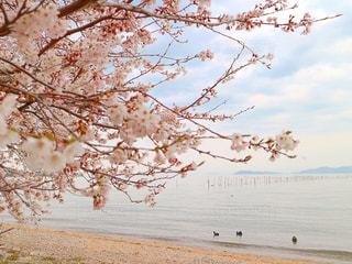 桜からみる琵琶湖とカモメの群れの写真・画像素材[1143660]