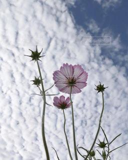 秋の空〜雲に揺られの写真・画像素材[1494470]