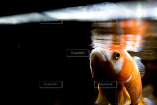 水面をつつく金魚の写真・画像素材[1028573]