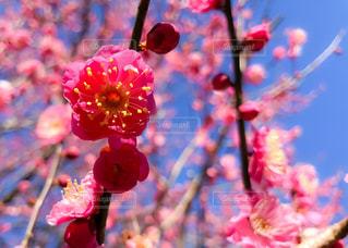 梅の花 - No.1028613