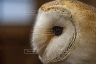 メンフクロウの写真・画像素材[2743361]