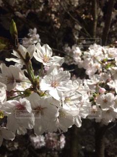 夜桜のアップの写真・画像素材[1027235]