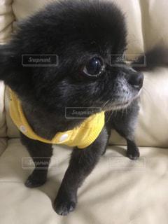 小さな黒い犬の写真・画像素材[1026495]