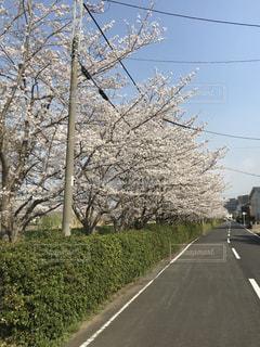 桜の写真・画像素材[1089583]