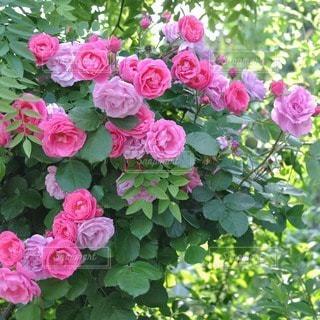 花の写真・画像素材[33969]