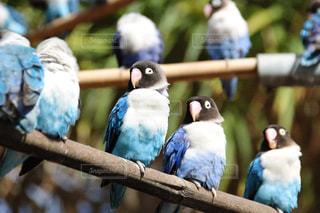 眠そうなカラフルな鳥(ボタンインコ)の写真・画像素材[1028348]