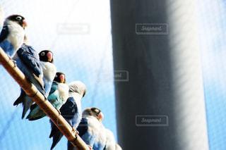 青いボタンインコの列の写真・画像素材[1028362]