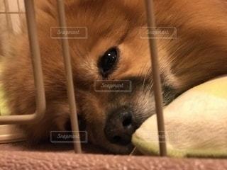 遊び疲れた犬の写真・画像素材[1036762]