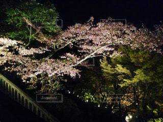 桜の花 ライトアップの写真・画像素材[1032252]