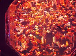 金魚の写真・画像素材[1028072]