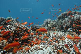 魚達 in Dahabの写真・画像素材[1028390]