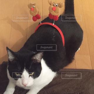 不満気な猫 クリスマスverの写真・画像素材[1030878]
