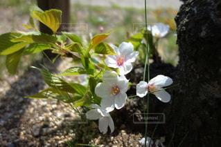 植物の白い花の写真・画像素材[1108756]