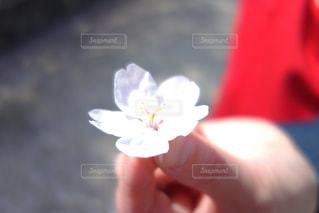 花を持っている手の写真・画像素材[1108758]