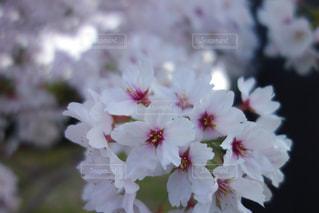 近くの花のアップの写真・画像素材[1108760]
