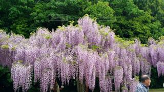ふじの花の写真・画像素材[1030030]