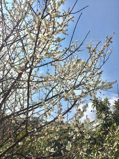 近くの木のアップ 梅の写真・画像素材[1028843]