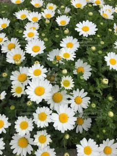 白と黄色の花の写真・画像素材[1058352]
